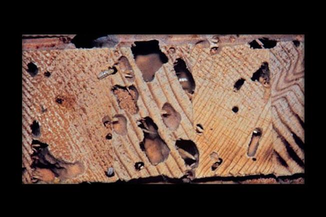 drywood-termites-2